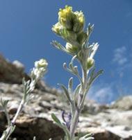 Photographie de la fleur de Génépi